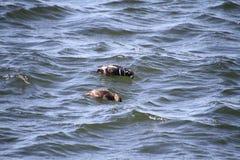 Deux canards de harlequin recherchant la nourriture image stock