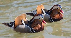 Deux canards de mandarine photographie stock libre de droits
