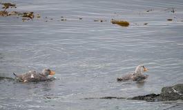 Deux canards de natation de vapeur avec les becs oranges lumineux Image stock