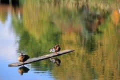 Deux canards exposant au soleil sur le rondin en bois Photographie stock libre de droits