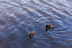 Deux canards flottent dans un étang images stock