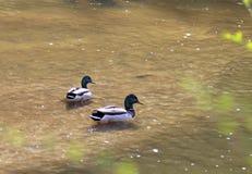 Deux canards masculins de canards nageant en Cherry Creek photos stock
