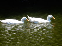 Deux canards nageant Images stock