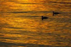 Deux canards nageant dans l'eau au coucher du soleil Photos stock