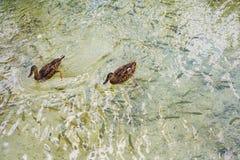 Deux canards nageant dans l'eau de rivière Photos stock