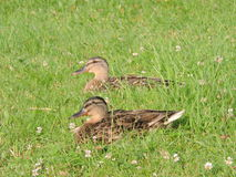 Deux canards sauvages Photo stock