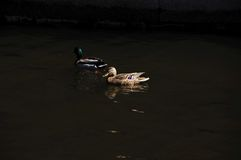 Deux canards sauvages Photographie stock libre de droits