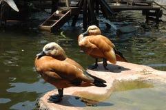 Deux canards se tenant dans l'étang photographie stock