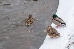 Deux canards se tenant sur le rivage pendant l'hiver Il chute de neige du ` s Images libres de droits