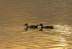 Deux canards sont des amis Image stock