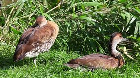 Deux canards (specularis d'ana) se reposant sur l'herbe banque de vidéos
