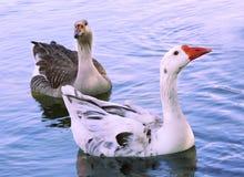 Deux canards sur l'étang Image libre de droits