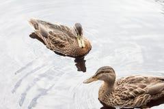Deux canards sur l'eau Photos libres de droits