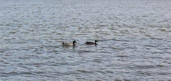 Deux canards sur la rivière, amour Image stock