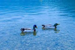 Deux canards sur leur chemin photos libres de droits