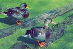 Deux canards sur une ouverture les platyrhynchos d'ana d'étang image stock