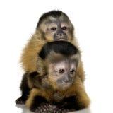Deux capucins de chéri - sapajou a Image libre de droits