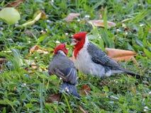Deux cardinaux à crête rouge au sol dans le combat d'herbe, poussant des cris rauques à l'un l'autre, macro de détail photos stock