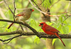 Deux cardinaux dans un arbre Photographie stock libre de droits
