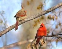 Deux cardinaux pendant l'hiver Images libres de droits