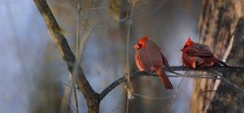 Deux cardinaux pendant le coucher du soleil Photos libres de droits