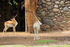 Deux cerfs communs photographie stock libre de droits