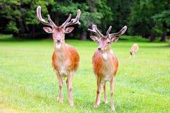 Deux cerfs communs affrichés Photo stock