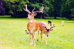Deux cerfs communs affrichés Photographie stock