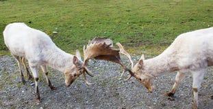 Deux cerfs communs affrichés de argumentation Photo stock