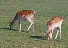 Deux cerfs communs affrichés Fawn Grazing Images libres de droits