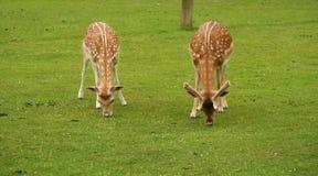 Deux cerfs communs alimentant sur l'herbe. Photographie stock libre de droits