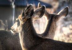 Deux cerfs communs appréciant le soleil - l'atmosphère Photos libres de droits