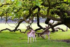 Deux cerfs communs au bel arrière-plan de forêt Image stock