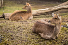 Deux cerfs communs au zoo à Berlin Photos libres de droits