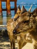 Deux cerfs communs curieux Photographie stock