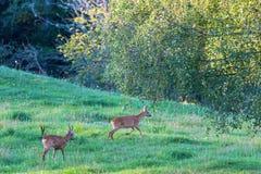 Deux cerfs communs dans l'ornière Photographie stock libre de droits