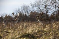 Deux cerfs communs en parc Images libres de droits