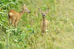 Deux cerfs communs de faon Image stock