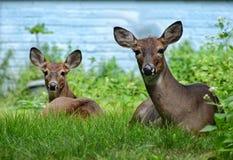 Deux cerfs communs de femelles se reposant sur le regard de détente d'herbe verte droit devant Images stock