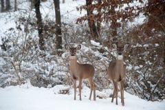 Deux cerfs communs de whitetail dans la neige Photographie stock libre de droits
