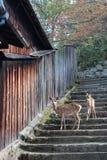Deux cerfs communs descendent un escalier en pierre (Japon) Photographie stock