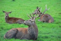 Deux cerfs communs et un mâle se couchant sur l'herbe verte Photos stock
