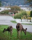 Deux cerfs communs explorant une ville suburbaine images stock