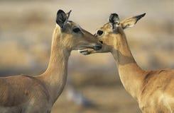Deux cerfs communs face à face dehors Photo stock
