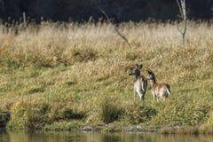 Deux cerfs communs par le lac photographie stock libre de droits