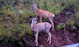 Deux cerfs communs s'approchent de l'herbe image libre de droits