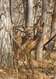 Deux cerfs communs sauvages dans la for Photographie stock libre de droits