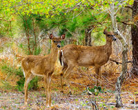 Deux cerfs communs se tenant dans la forêt Photographie stock libre de droits