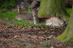 Deux cerfs communs se trouvant sur l'au sol de forêt photos stock