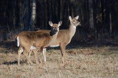 Deux cerfs communs suivis blancs. Photos stock